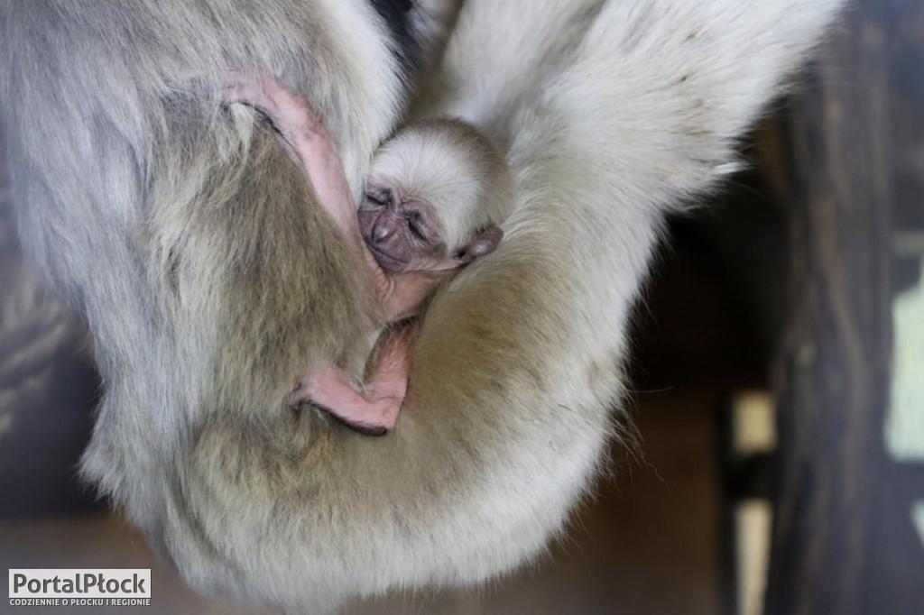 W zoo urodził się gibbon - Zdjęcie główne