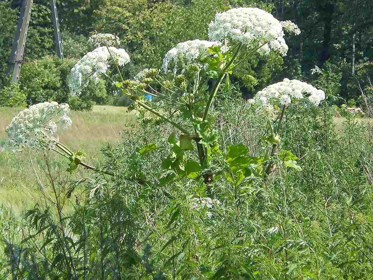 Najgroźniejsza roślina w Polsce. Lepiej się do niej nawet zbliżać - Zdjęcie główne