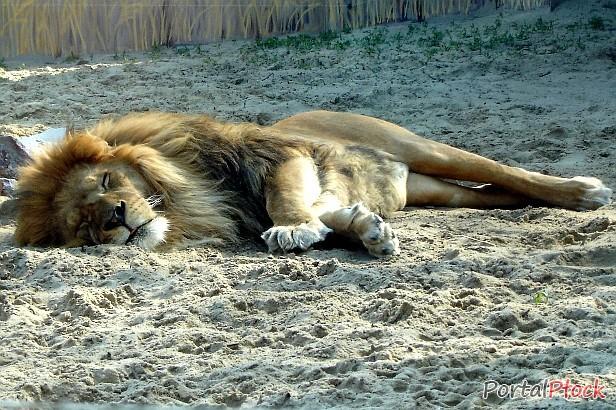Umarł lew z płockiego zoo. Jest już następca  - Zdjęcie główne