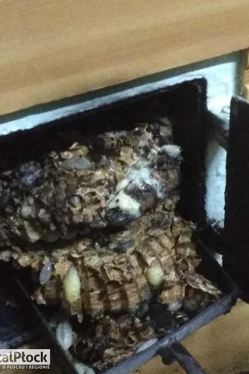 Strażacy usunęli gniazdo szerszeni - Zdjęcie główne