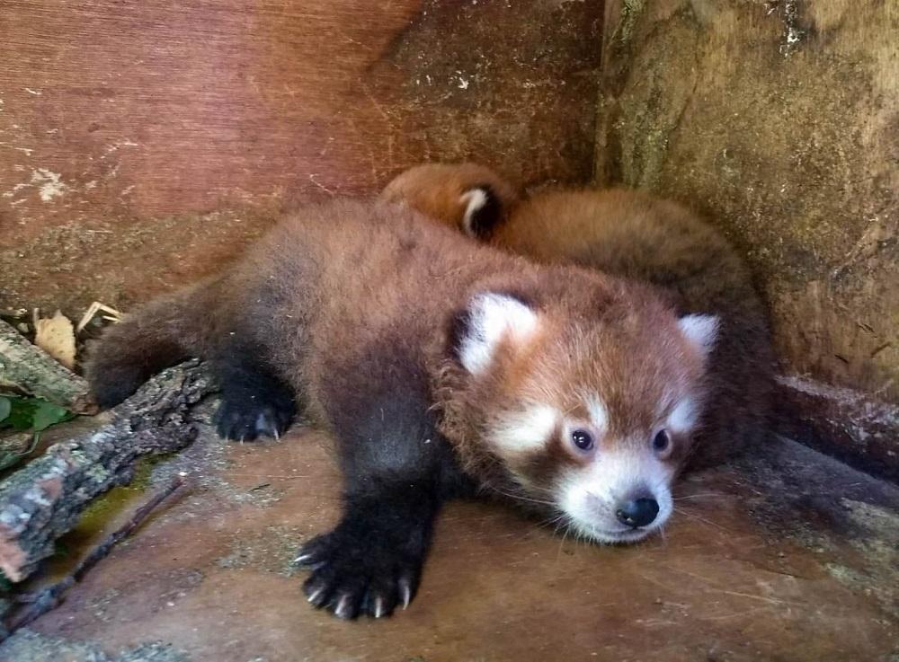 Młodziutka panda w płockim ZOO. Przyjechała z francuskiego ogrodu zoologicznego [ZDJĘCIA] - Zdjęcie główne