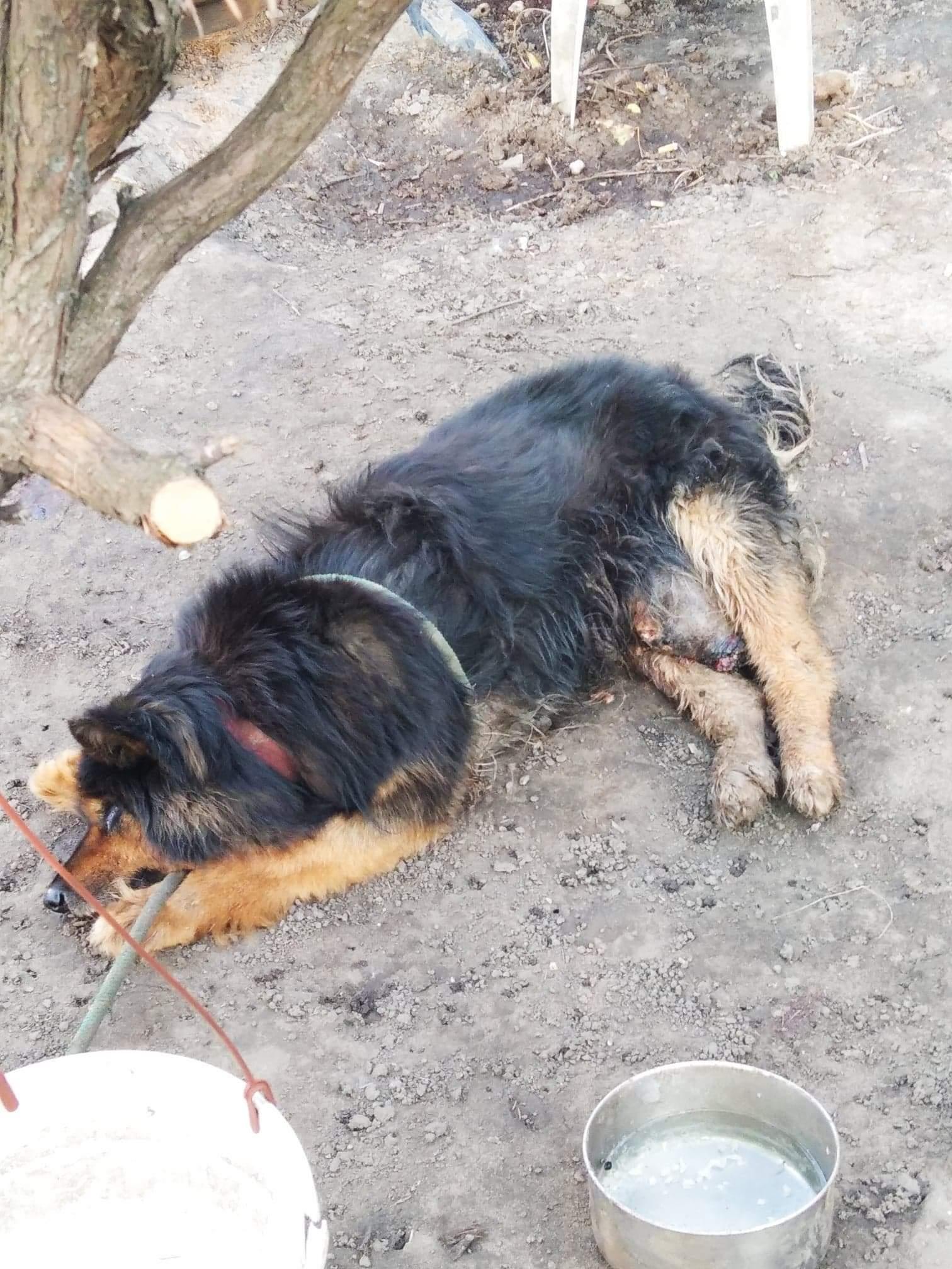 Zaniedbany, brudny, przywiązany do drzewa, z guzem wielkości kokosa. Pies odebrany  - Zdjęcie główne