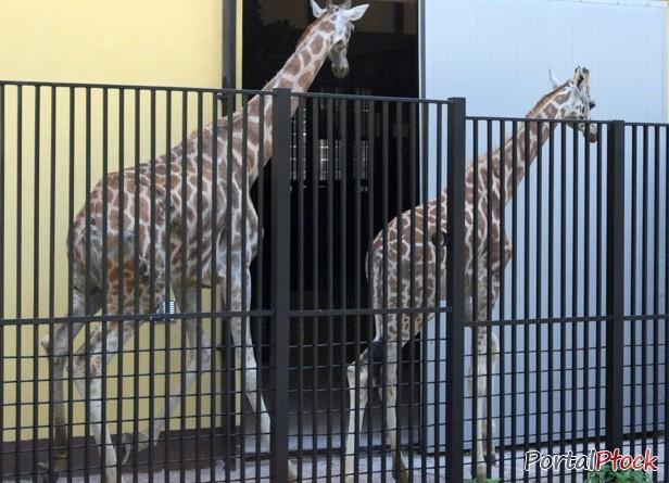 Płockie żyrafy wróciły na swoje miejsce - Zdjęcie główne
