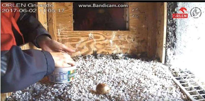 W gnieździe na kominie Orlenu podmieniono jajo na pisklę - Zdjęcie główne