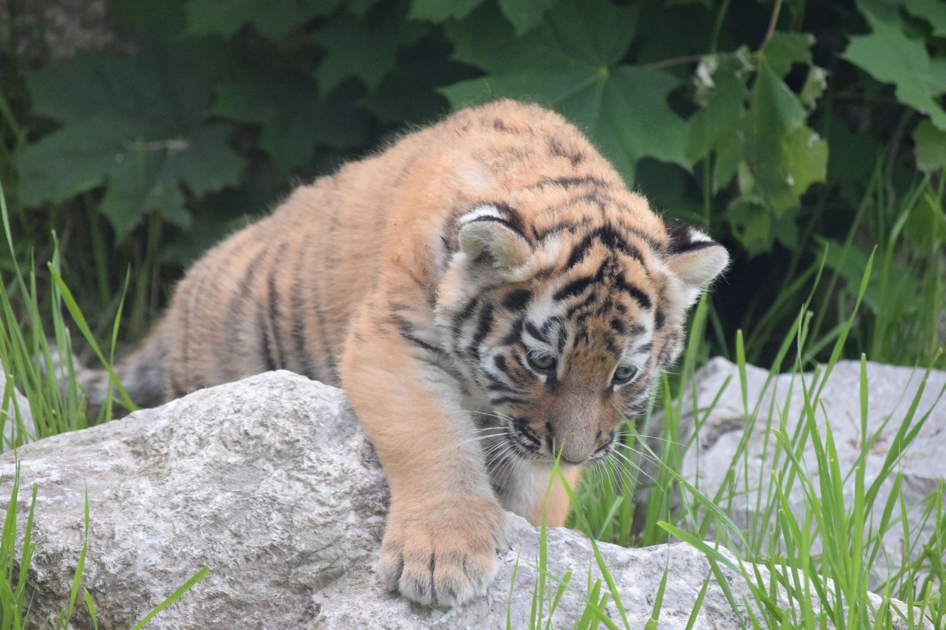 Jak nazywać młodziutkie tygrysy z Płocka? ZOO ogłasza konkurs! - Zdjęcie główne