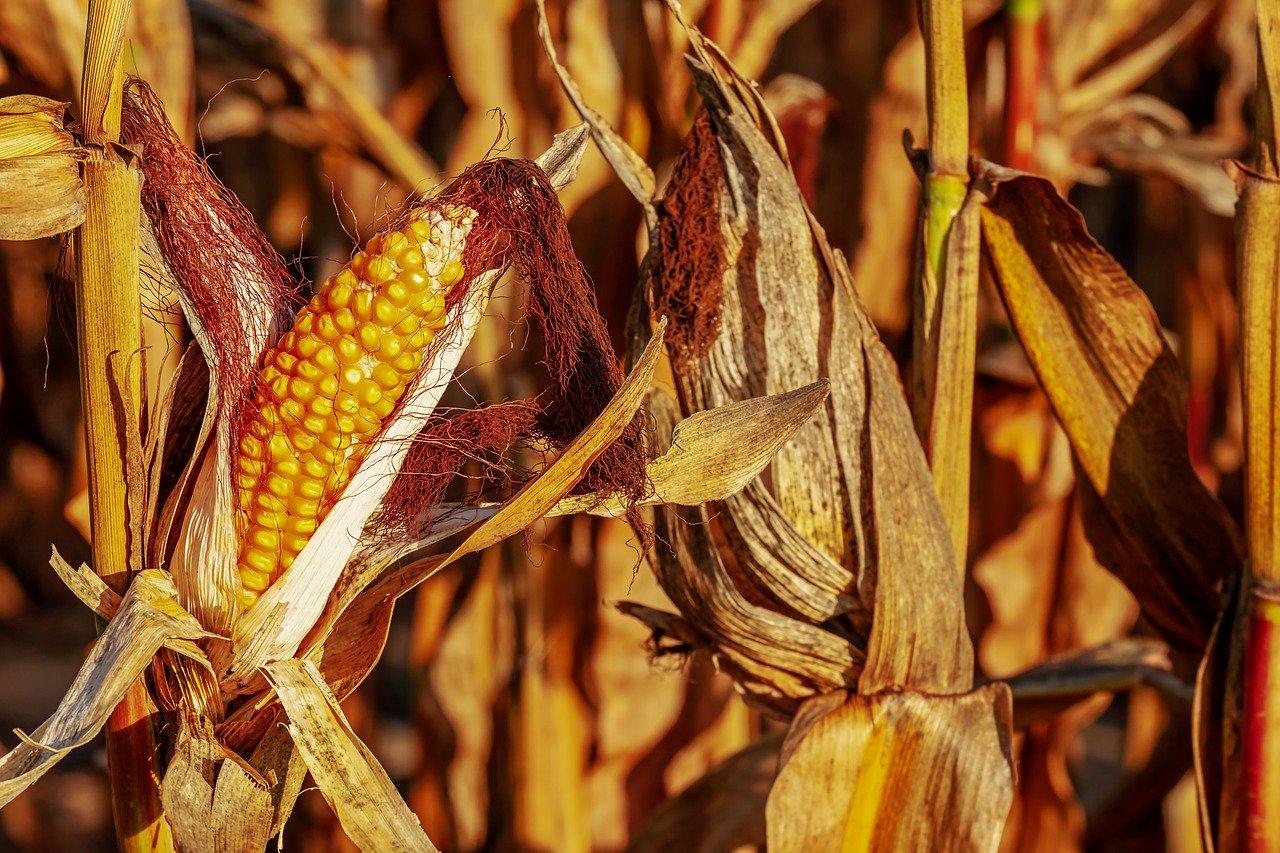 Jak optymalnie przechowywać kukurydzę w silosie? - Zdjęcie główne