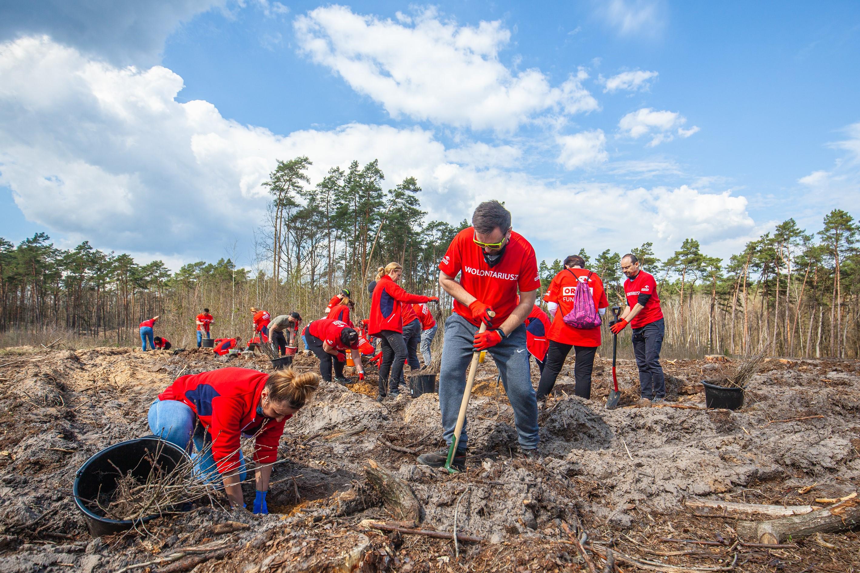 Tysiąc za każdy rok. Wolontariusze posadzili 20 tysięcy drzew niedaleko Płocka  - Zdjęcie główne