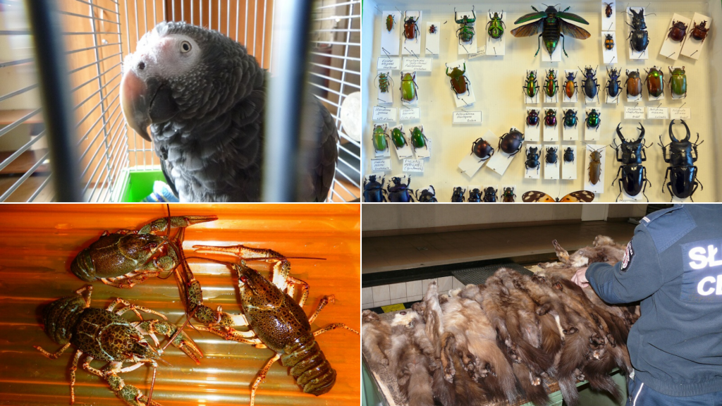 Czego to ludzie nie przemycają. Papugi, krąg walenia, gruczoły bobra, niedźwiedzie czaszki, owady i gady [ZDJĘCIA] - Zdjęcie główne