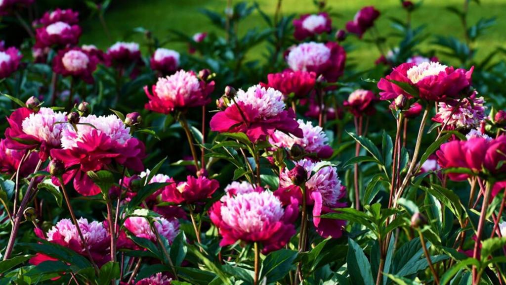 50 odmian kwitnących piwonii w łódzkim Ogrodzie Botanicznym. Zobacz! [ZDJĘCIA] - Zdjęcie główne