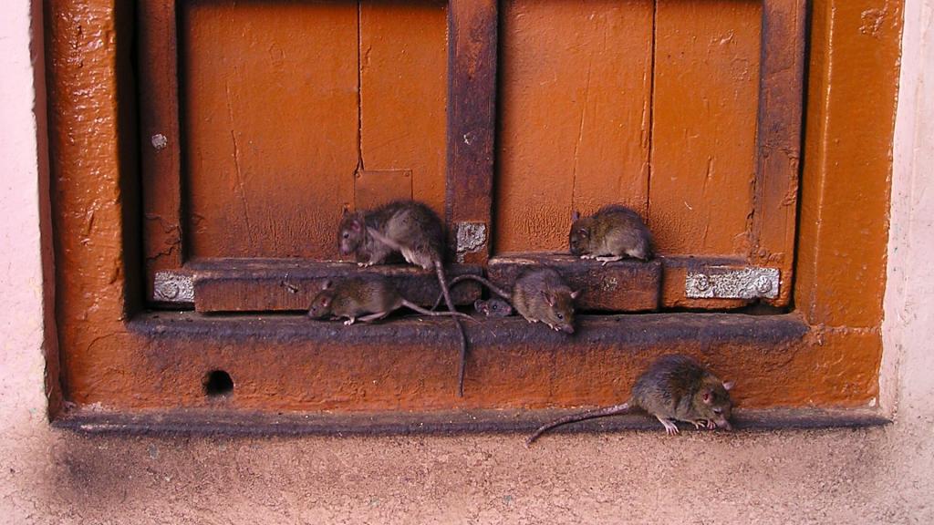 """Plaga szczurów w kamienicy w centrum Łodzi. Czy mamy do czynienia z """"czyszczeniem kamienic""""? - Zdjęcie główne"""